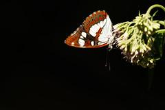 Blauwe ijsvogelvlinder, Southern white admiral, Limenitis reducta (PJ Alles) Tags: butterfly flower ardèche france sony alpha a7r3 ilcea7r3 insect nature vlinder gmaster gm blauweijsvogelvlinder southernwhiteadmiral sonyalpha limenitisreducta fe100400mmf4556gmoss ilce7rm3 fe 100400mm f4556 oss blak light frankrijk natuur papillon 400mm