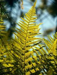 Fern Whisper (barbara_donders) Tags: natuur nature summer zomer fern varen groen green lichtinval light shadow schaduw bokeh macro mooi beautiful magical prachtig