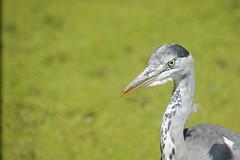DSC00750 (The Unofficial Photographer (CFB)) Tags: deardiaryjune2018 featheredfriends bushypark royalparks heron ron londonparks