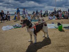 A dog at the Midsummer celebration (frankmh) Tags: animal dog midsummercelebration hittarp helsingborg skåne sweden beach