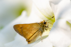 Morning Light (LadyBMerritt) Tags: flower plant butterfly skipper white orange petunia garden afloweraday