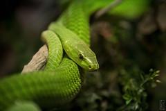 green mamba (peter birgel) Tags: snake greenmamba africa tanzania tarangirenationalpark trave travelphotography nikon d500 dangerous