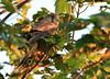 Young kestrel (landscape), Whitstable, Kent, late evening light (Jim_Higham) Tags: bird nature natural wild widlife avian british english uk britain eu europe european juvenile
