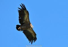 Vautour fauve (fauneetnature) Tags: vulture griffonvulture vautour vautourfauve ornithology ornithologie oiseau bird animalier animaux animal