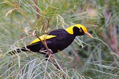 Regent Bowerbird (Alan Gutsell) Tags: birds regent bowerbird regentbowerbird lamingtonnationalpark nationalpark queensland alan