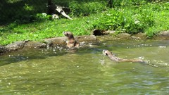 MVI_5249 Otters swimming for fun (jgagnon63@yahoo.com) Tags: video newzoo northamericanriverotters otters play playing swimming wildlife mammals wisconsin greenbaywi entertainment placesofinterest suamico