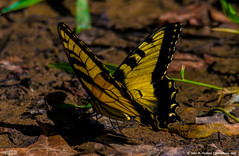 2018.08.15.1675 Swallowtail (Brunswick Forge) Tags: 2018 virginia summer grouped nikond500 tamron150600mm nature day wildlife animal animals outdoor outdoors commented favorited