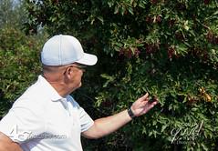 18GD3107 (wdwornik) Tags: 45pictures albertacanada crowsnestpass tourism berries bushes chokecherries gwd alberta canada ca