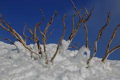 Snow Gums