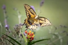 140A0440 (Ricky Floyd) Tags: butterfly canon