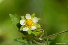 Food for mice (Photosuze) Tags: stickycinquefoil flowers flora native petals leaves foliage drymocallisglandulosa