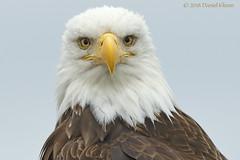 """I see you"" (danielusescanon) Tags: wild animal bird baldeagle haliaeetusleucocephalus accipitriformes accipitridae homer alaska closeup head"
