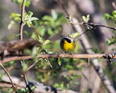 Common Yellowthroat (MoeDW) Tags: commonyellowthroat warbler bird geothlypistrichas