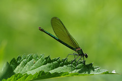 IMGP1500c  Banded Demoiselle, Lackford Lakes, June 2018 (bobchappell55) Tags: lackfordlakes nature wild wildlife suffolk insect damselfly bandeddemoiselle calopteryxsplendens