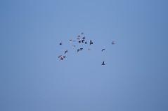 IMG_4281 Pigeon Race, Sa Rapita, Mallorca (Fernando Sa Rapita) Tags: canon canoneos eos6d mallorca sarapita tamron tamron150600 race carrera pigeon palomas