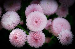 Bellis (judy dean) Tags: 2018 flowers judydean garden daisy double pink bellis