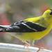 American Goldfinch (m)    Carduelis tristis