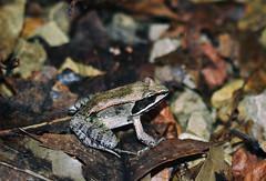 Wood Frog (Liz Nemmers) Tags: frog wildlife nature macro woodfrog amphibian nikon nikond3100 minnesota photography