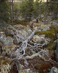 Töfsingdalen VI (Gustaf_E) Tags: dalarna forest johannaeriksson landscape landskap låga nationalpark pine pines silvertall skog sommar sverige sweden tall töfsingdalen urskog woods
