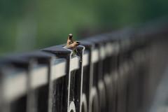 Cedar Waxwings-44183.jpg (Mully410 * Images) Tags: avian birding waxwing minnesotariver carvercounty birds minnesotavalleynationalwildliferefuge cedarwaxwing birdwatching birder bird