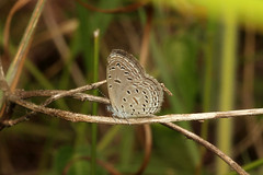 Zizula hylax (Gaika Blue) - Isunga, Uganda (Nick Dean1) Tags: zizulahylax gaikablue isunga animalia arthropoda arthropod hexapoda hexapod insect insecta lepidoptera lycaenidae butterfly