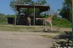 Giraffes on Zufari (CoasterMadMatt) Tags: chessingtonworldofadventures2018 chessingtonworldofadventuresresort2018 chessingtonworldofadventures chessingtonworldofadventuresresort chessington world adventures resort themepark amusementpark theme amusement park parks englishthemeparks zufari ride rides giraffe giraffes chessingtonzoo zoo animal animals wildlife enclosures enclosure attractions royalboroughofkensingtonuponthames royal borough kensington thames london southeastengland southeast england britain greatbritain gb unitedkingdom uk may2018 spring2018 may spring 2018 coastermadmattphotography coastermadmatt photos photographs photography nikond3200