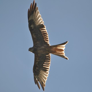 Red Kite in mid Wales.