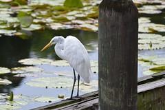Egreat (deanmorgan4) Tags: wild unitedstateswildlife nature sigma nikon orlando florida usa bird egret wildlife