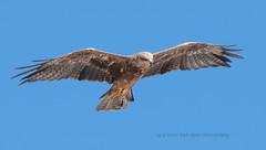 Black Kite (Red Gecko Photography) Tags: black kite seville andalucia bif flight bird predator eagle raptor spain