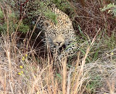 out of the bush (Chris the Borg) Tags: leopard wild beast animal sauvage bush afrique du sud south africa pilanesberg stare regard look eyes yeux nature beauté beauty