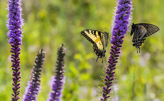 Swallowtails feed on Blazing Star. (Bernie Kasper (4 million views)) Tags: art berniekasper butterfly butterflies bugs bug blazingstar color d600 family flower floral flowers hiking indiana indianawildflowers insect insects indianabutterflies jeffersoncounty light leaf leaves love madisonindiana macro nature nikon naturephotography new outdoors outdoor old outside photography plant plants purple raw summer sigma swallowtail travel trail wildflower wildflowers