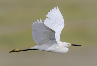Snowy Egret Fly-by