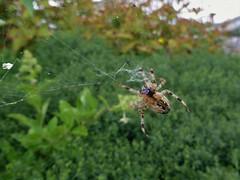 Garden safari, Kruisspin - Araneus diadematus (Alta alatis patent) Tags: spider garden insect kruisspin araneusdiadematus