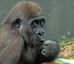 western lowlandgorilla Yanga Artis JN6A1256 (j.a.kok) Tags: gorilla westelijkelaaglandgorilla westernlowlandgorilla lowlandgorilla laaglandgorilla yanga animal artis africa afrika aap ape mammal monkey mensaap primate primaat zoogdier dier