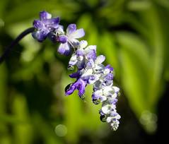 Flower (LuckyMeyer) Tags: flower fleur green lila violett blume blüte rain drop water sun
