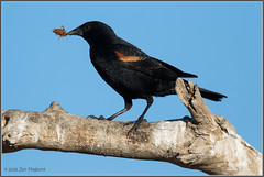 Red-winged Blackbird 2439 (maguire33@verizon.net) Tags: redwingedblackbird sanjacintowildlifearea bird blackbird wildlife