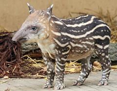 South american tapir Artis JN6A0698 (j.a.kok) Tags: tapir southamerica southamericantapir zuidamerika zuidamerikaansetapir animal artis mammal zoogdier dier herbivore babytapir