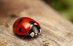 7-Spot Ladybird (snomanda) Tags: ladybird ladybug insect beetle animal invertebrate seven 7spot ladybeetle wildlife nature entomology ecology summer coccinella septempuntacta coleoptera arthropoda red bug