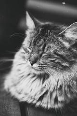 ^-^ (_elusive_mind_) Tags: katzen cats animals monochrome blackandwhite bw sleeping wannabeacatinthenextlife