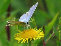 Common Blue (marksargeant57) Tags: commonblue