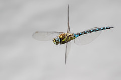 Migrant Hawker (PINNACLE PHOTO) Tags: migranthawker aeshnamixta dragonfly insect bug big fourwings flying nature wildlife wild uk dragon closeup macro canon martinbillard 600mm sigma150600