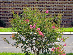 Small Crape Myrtle Tree. (dccradio) Tags: lumberton nc northcarolina robesoncounty outdoor outdoors outside nature natural plant tree trees foliage treebranch treebranches branch branches treelimb treelimbs august wednesday afternoon summer summertime flower flowers floral flowering floweringtree crepemyrtle crapemyrtle pretty beauty bloom blooming blossom blossoms blossoming pavement parkinglot brick brickwall bricks sidewalk concrete grass lawn yard greenery ground