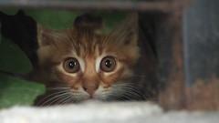 P7084231_cr (unHombre) Tags: worldcatday cat catkin kitten kedi yavru pet street katze animal haustier olympus omd em5 yavrukedi kediyavrusu kätzchen eyes eye auge augen göz gözler kedigözü cateye katzenaugen
