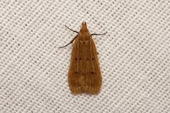 Moth sp - Kibale, Uganda (Nick Dean1) Tags: animalia arthropoda arthropod hexapoda hexapod insect insecta lepidoptera moth kibale kibalenationalpark uganda