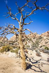 Weathered (Los Paseos) Tags: joshuatree nationalpark california