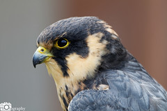 Lanner Falcon (Mike House Photography) Tags: bird prey falcon eagle hawk talons beak wings flying flight fly yellow green brown white eyes sharp meat eater tail tips conservation wildlife animal photography