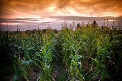 Evening Sun Over The Corn Field (Missy Jussy) Tags: cornfield farmland farming france southcentralfrance labrugere saintyrieixlaperche food produce sky sunset evening eveningsun fields soil ground clouds ef24mmf28 24mm primelens fixedfocallength 5d canon5dmarkll canon5d canoneos5dmarkii canon outdoor outside holiday trip