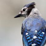 Blue Jay ( juvenile ) thumbnail