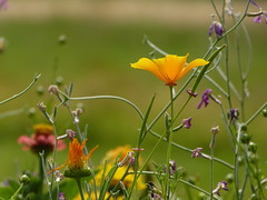 California poppy and more (joeke pieters) Tags: 1410186 panasonicdmcfz150 slaapmutsje californiapoppy eschscholziacalifornica bloem flower ngc npc