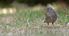 Dunnock (juvenile) (KHR Images) Tags: dunnock juvenile prunellamodularis wild bird garden wildlife nature nikon d500 kevinrobson khrimages